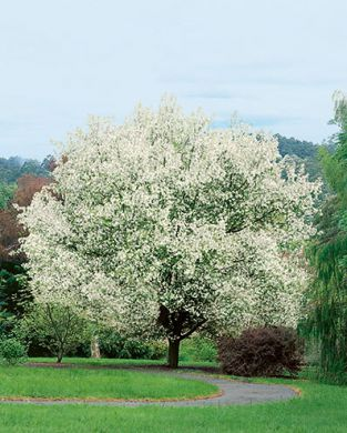 Marjaomenapuu