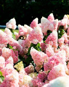 Japaninhortensia Living Strawberry Blossom
