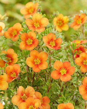 Pensashanhikki Hopley´s Orange
