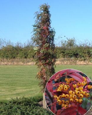 Pylväspihlaja Autumn Spire
