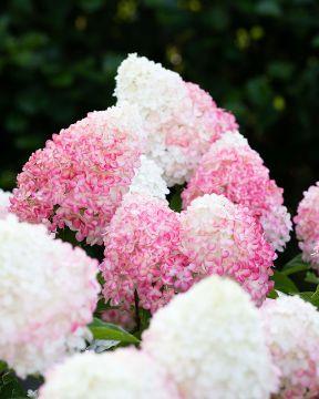 Japaninhortensia Living Pink & Rose