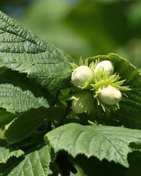 Euroopanpähkinä-pensas
