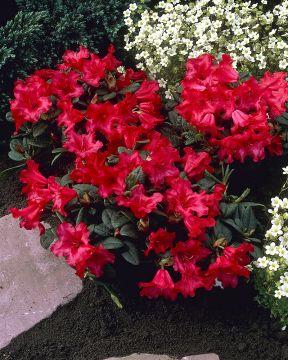 Lamoalppiruusu Scarlet Wonder