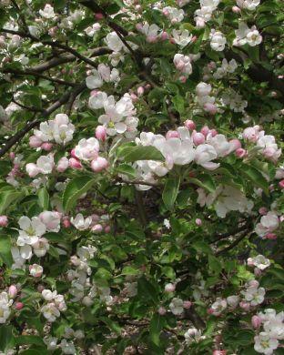 Paratiisiomenapuu Erstaa