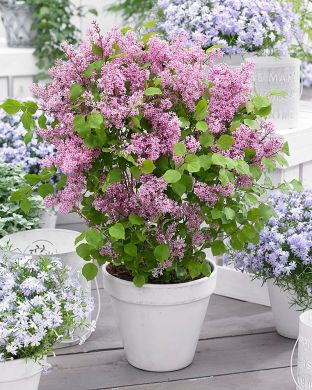 Pikkusyreeni Flowerfesta Pink