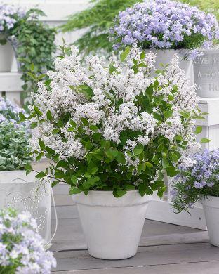 Pikkusyreeni Flowerfesta White