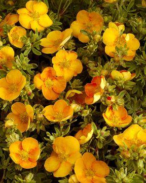 Pensashanhikki Tangerine