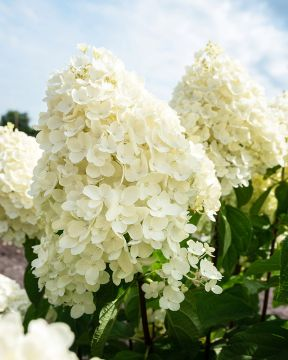 Japaninhortensia Living Summer Snow