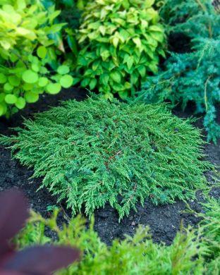 Kääpiökataja Green Carpet