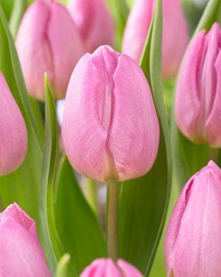Tulppaani Light Pink Prince