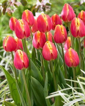 Tulppaani Royal van der Mark