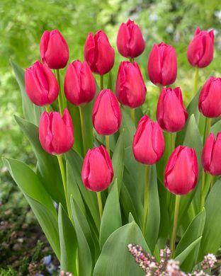 Tulppaani Pink Ardour