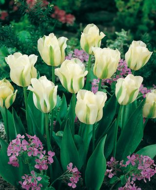 Vihreäraitatulppaani Spring Green