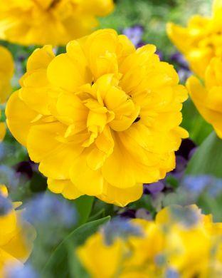 Kerrattu tulppaani Yellow Pompenette
