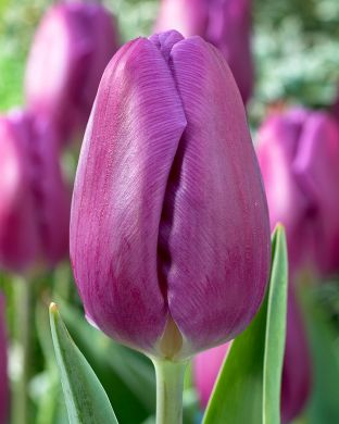 Tulppaani Purple Flag