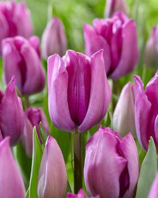 Tulppaani Magic Lavender