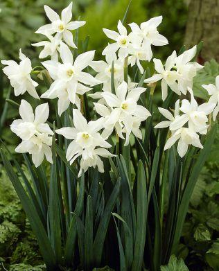 Orkideanarsissi Thalia