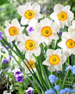 Tähtinarsissi Flower Record