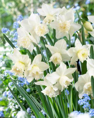 Orkideanarsissi White Marvel
