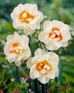 Kerrattu narsissi Flower Drift