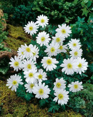Balkaninvuokko White Splendour