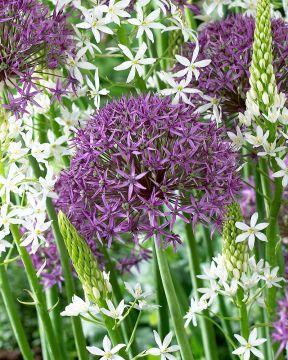 Sorjalaukka Violet Beauty