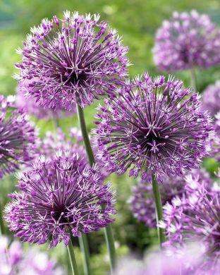 Partalaukka lila