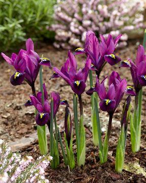 Kevätkurjenmiekka Purple Hill
