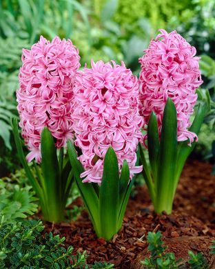 Hyasintti Pink Pearl