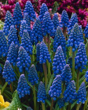 Helmililja sininen