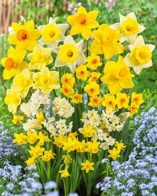 Villien Viikkojen Narsissi mix