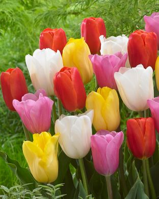 Värien ilo -tulppaanilajitelma
