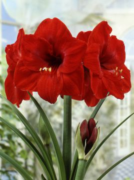 Amaryllis Red Knight