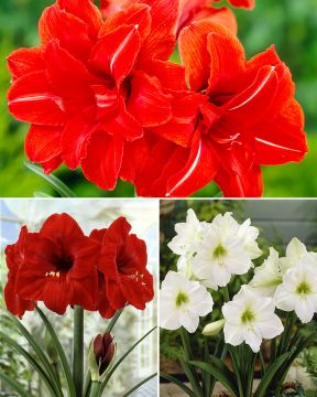 Amaryllis mix