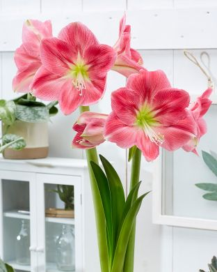 Amaryllis Candy Floss