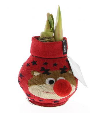 Vaha-amaryllis Poroneule punainen
