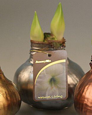 Vaha-amaryllis Hopeanhohtoinen