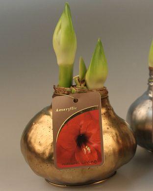 Vaha-amaryllis Kullanhohtoinen