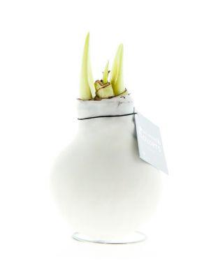 Vaha-amaryllis Valkoinen