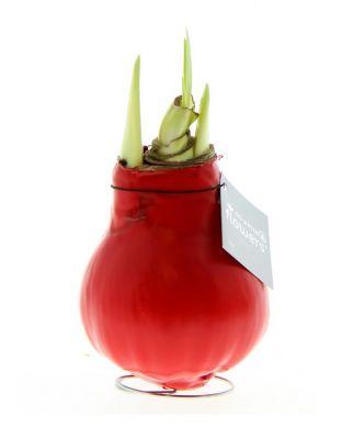 Vaha-amaryllis Punainen
