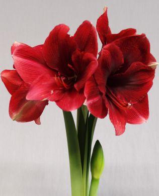 Amaryllisasetelma punainen